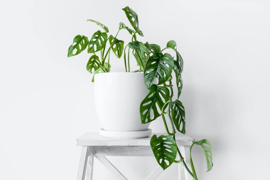 House plant Monstera